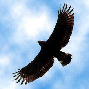 Ilustrasi Gambar Sumber: http://keepwildlifeinthewild.wordpress.com/2010/06/08/spilornis-cheela-bido-elang-ular-bido/
